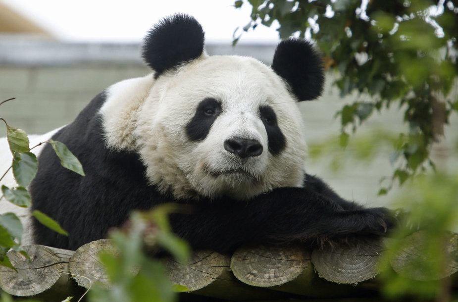 Panda Tian Tian