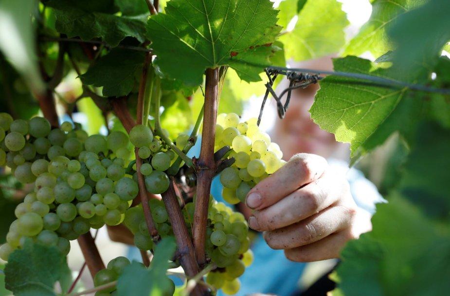 Prancūzijoje įsibėgėja vynuogių skynimo sezonas