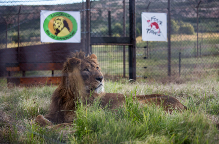 Liūtas rezervate Pietų Afrikos Respublikoje