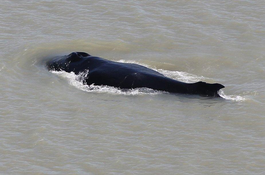 Kuprotasis banginis