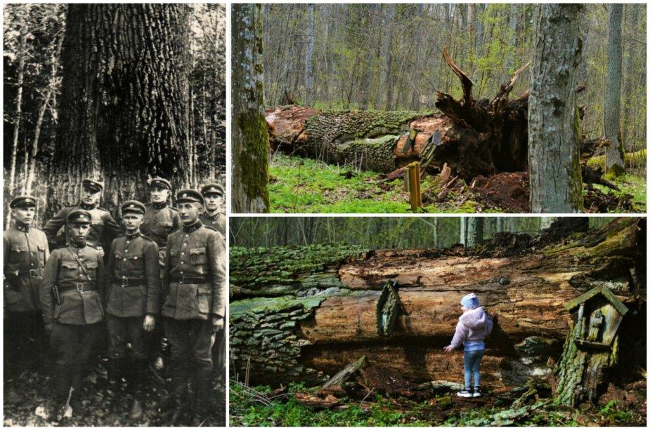 """Šaravų ąžuolas po šešių šimtmečių tarė """"sudie"""": LDK laikais išdygusio gamtos paminklo istorija"""