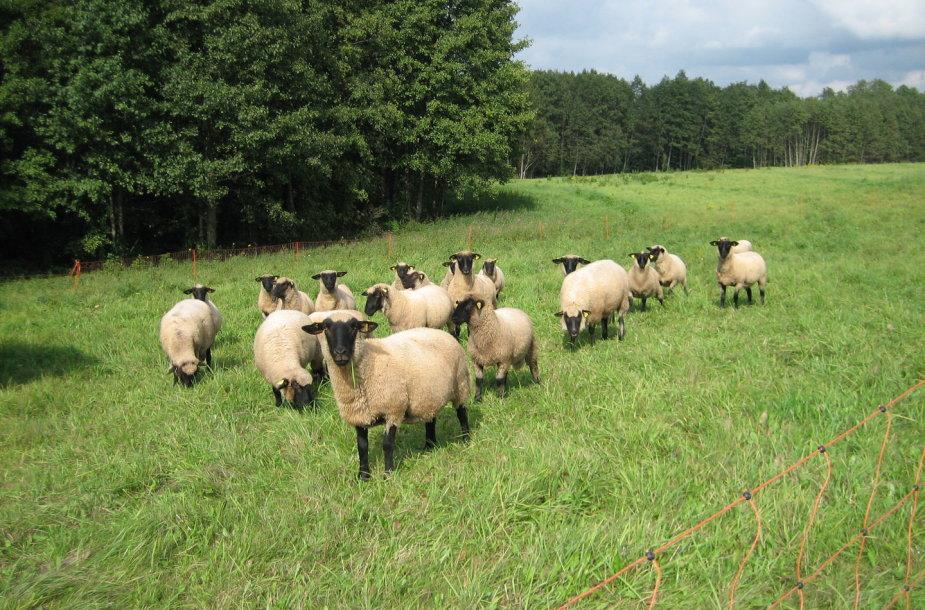 Avys ganosi natūralioje aplinkoje