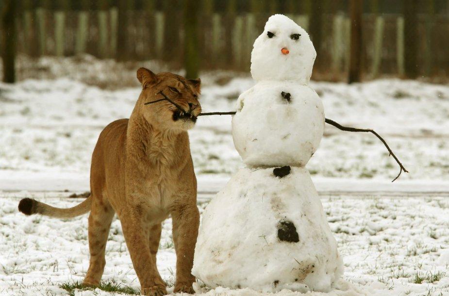 Liūtas prie sniego senio