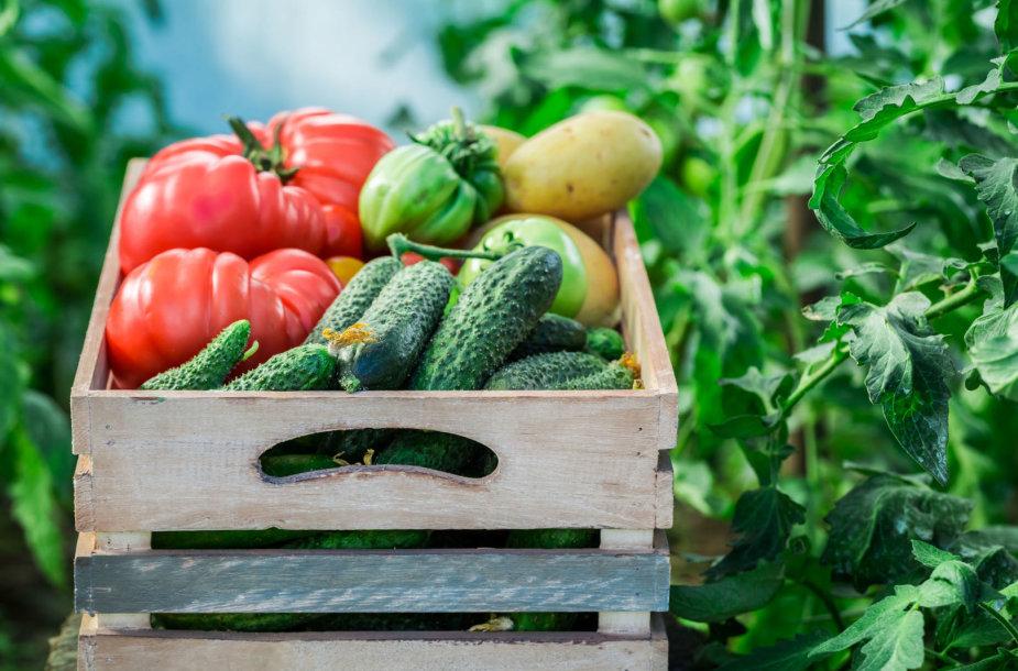 Pomidorai ir agurkai