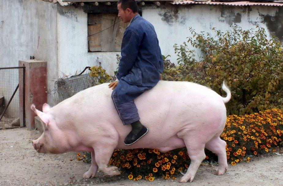 Šeimininkas su auginama kiaule