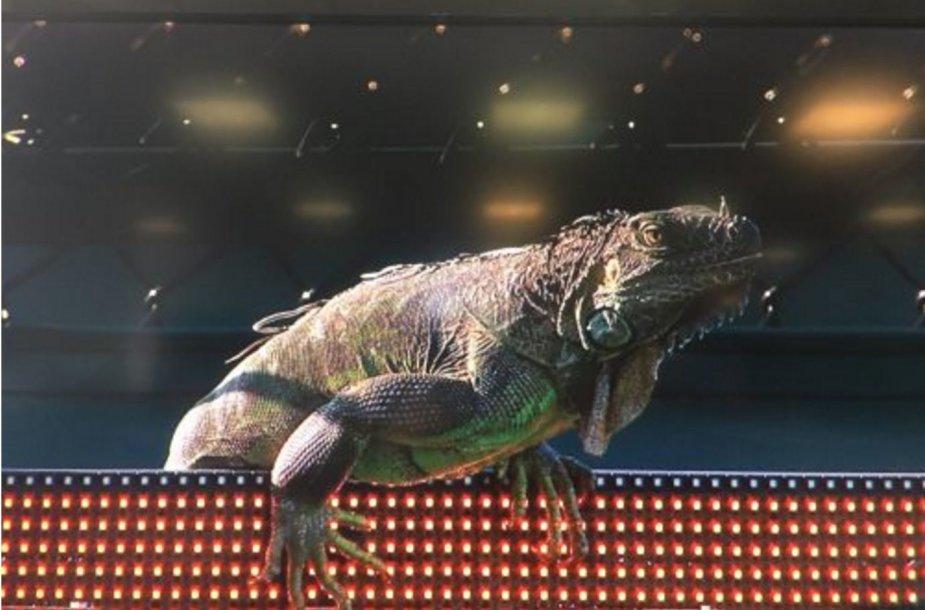 Tommy Haaso ir Jiri Vesely mačą sudrumstė šou surengusi iguana