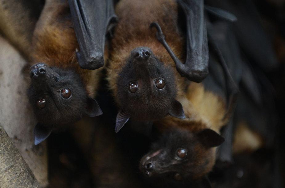 Nipa virusą platina pirmiausia vaisėdžiai šikšnosparniai