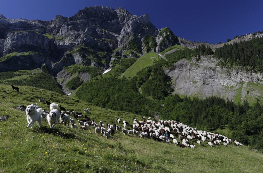 Avys Pirėnų kalnuose