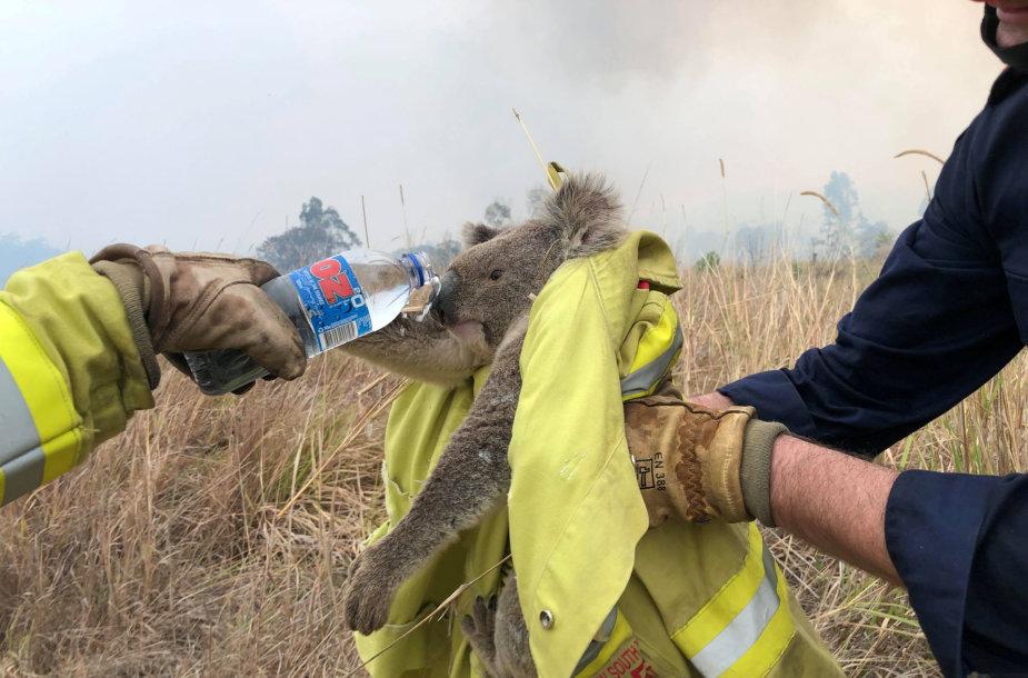 Gaisrai Australijoje naikina koalų populiaciją