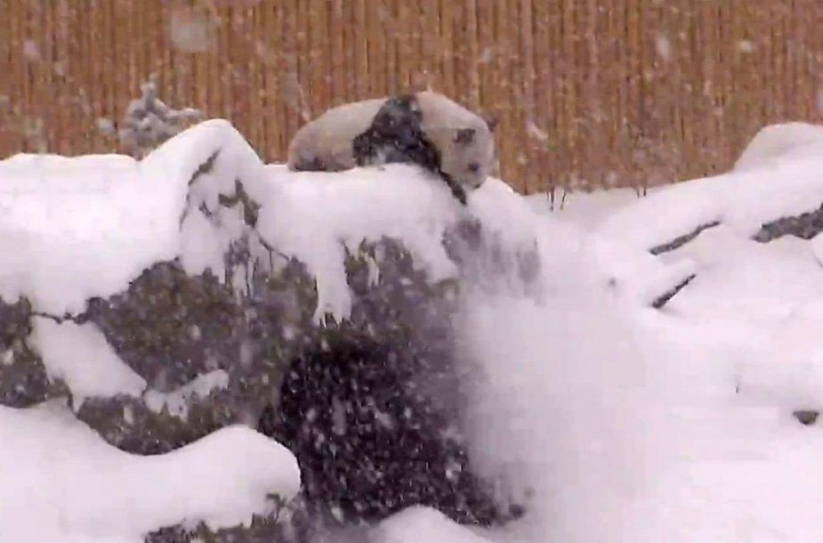 Panda sniege