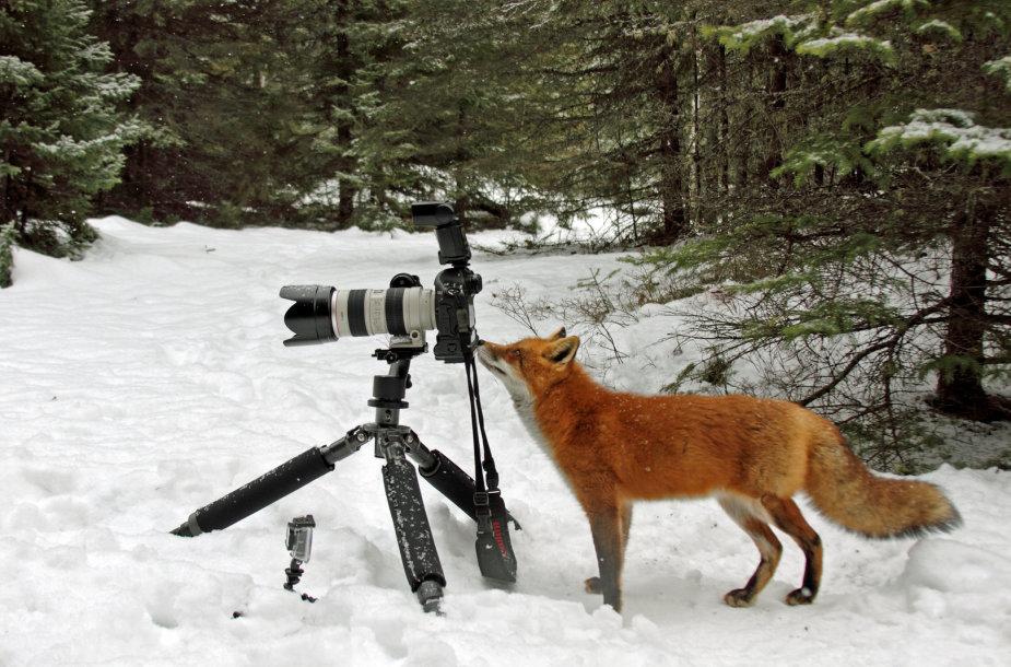Lapė prie fotoaparato
