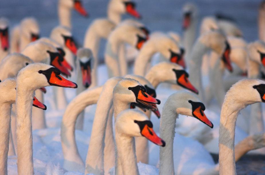 Gulbės Žemųjų Šančių paukščių lesykloje