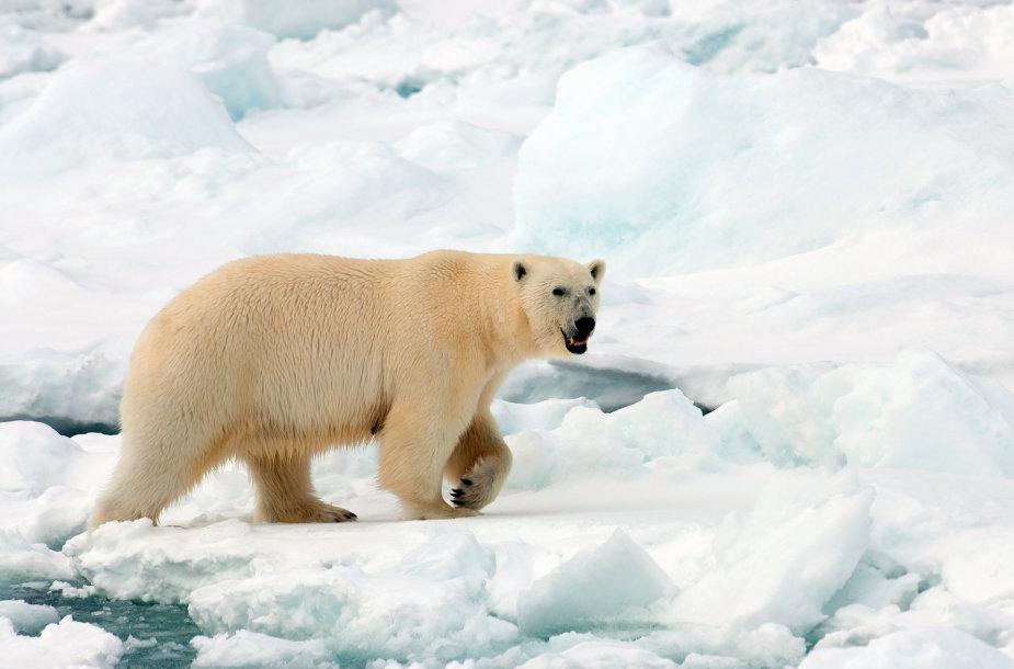 Baltasis lokys Svalbarde