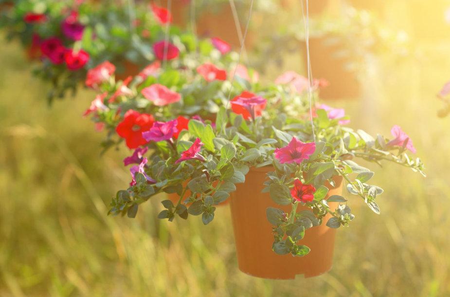 Kabančios gėlės