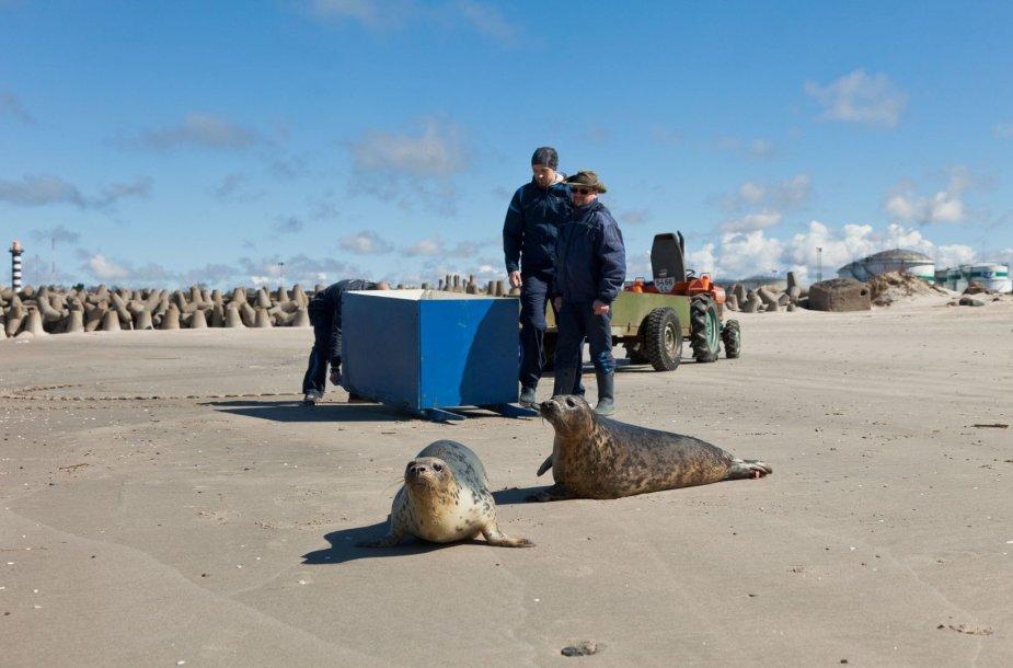 Jūrų muziejaus darbuotojai į laisvę paleido du išslaugytus, praėjusiais metais Baltijos bangų į krantą išmestus, ruonius