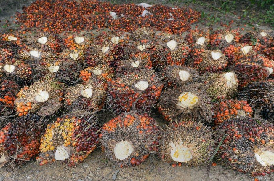 Palmių derliaus nuėmimas