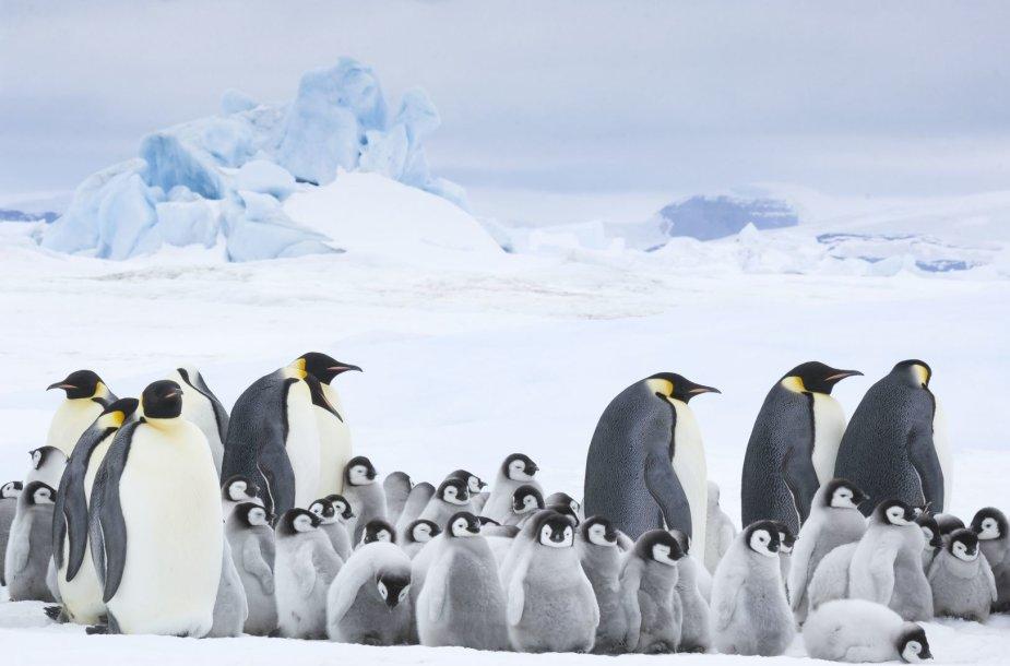 """""""Kinas po žvaigždėmis"""" kviečia į seansą visai šeimai – """"Pingvinų maršas 2. Šauksmas"""""""