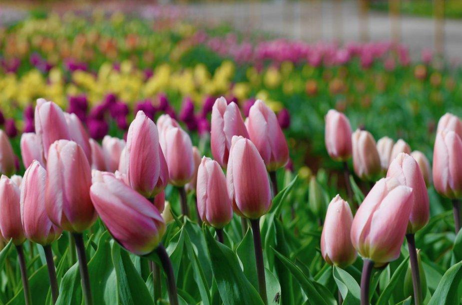 Kauno botanikos sode žydi tulpės