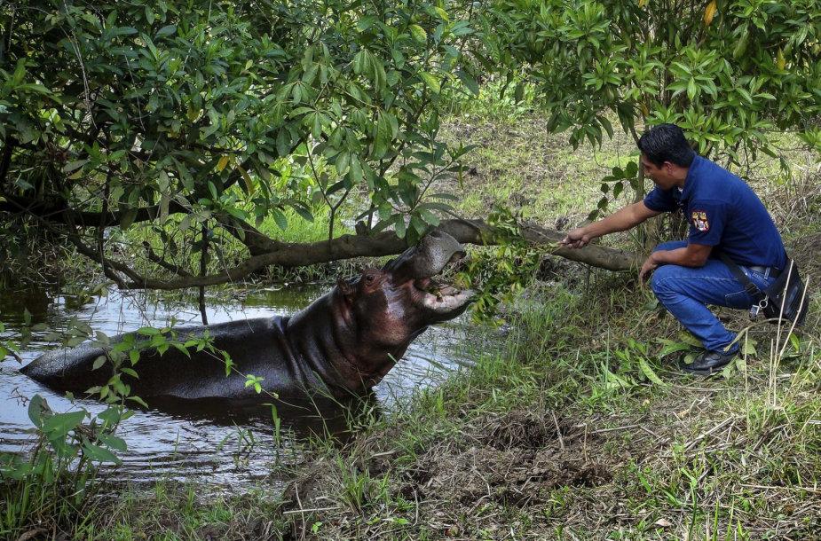 Mekskoje pagautas laisvėje klaidžiojęs hipopotamas Taisonas