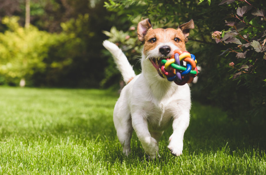 Pievoje žaidžiantis šuo