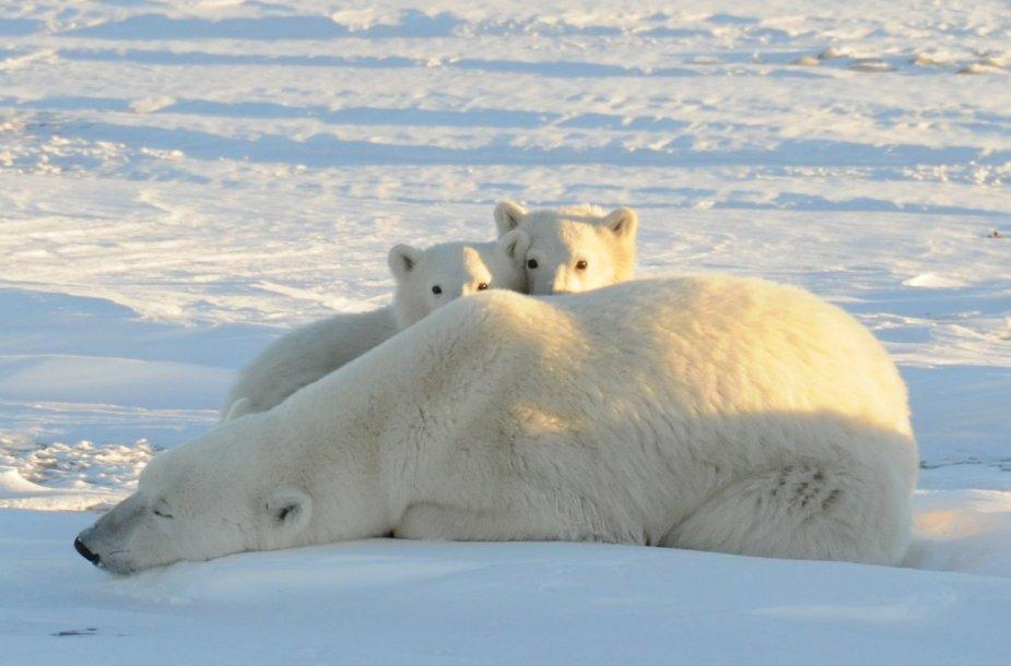 Baltojo lokio jaunikliai slepiasi už mamos