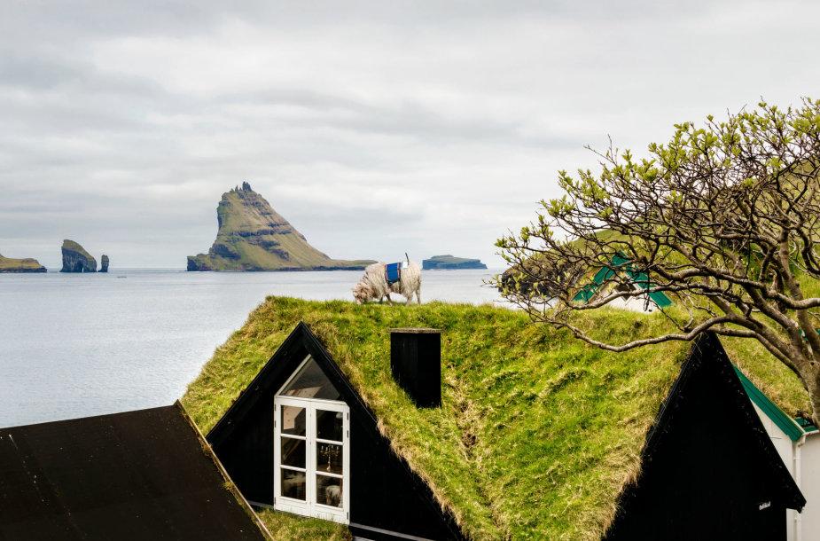 Farerų salų avys