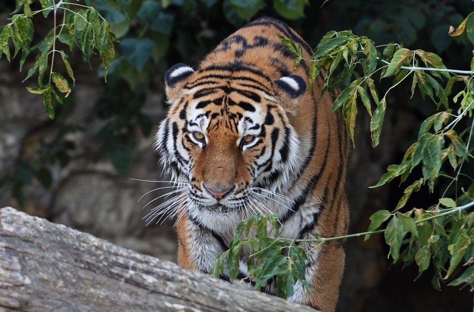 Amūrinis tigras