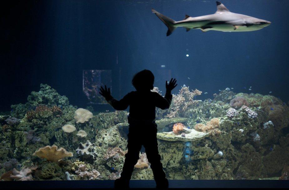 Rifinis ryklys zoologijos sode