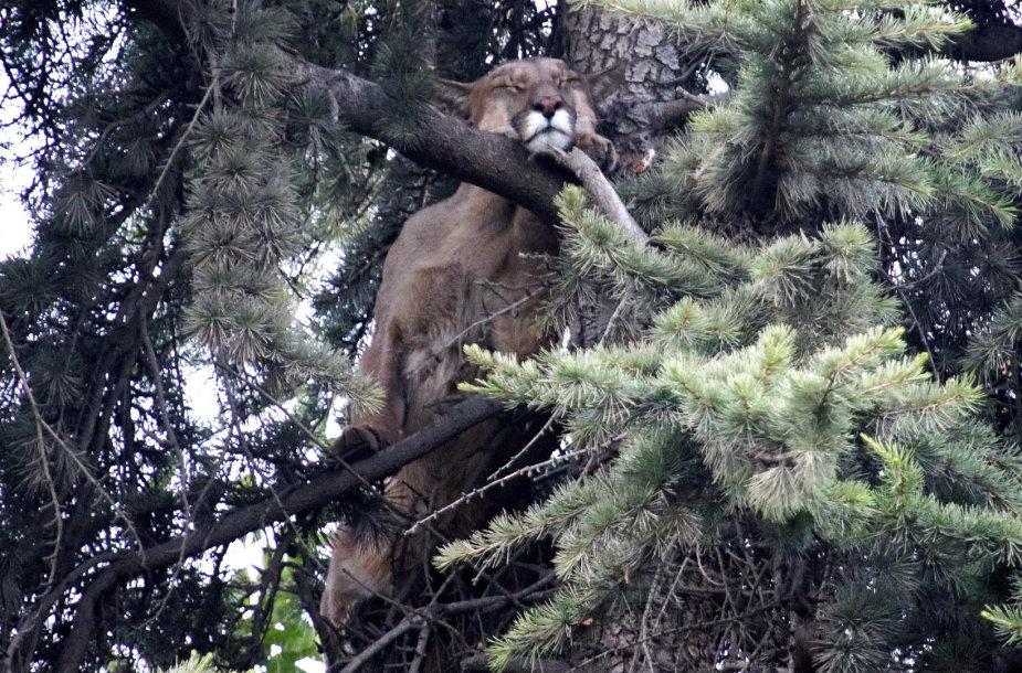 Čilės sostinėje iš medžio išgelbėta laukinė puma