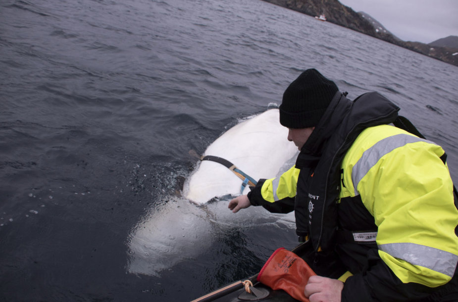 Prie Norvegijos krantų žvejus gąsdinęs baltasis banginis beluga