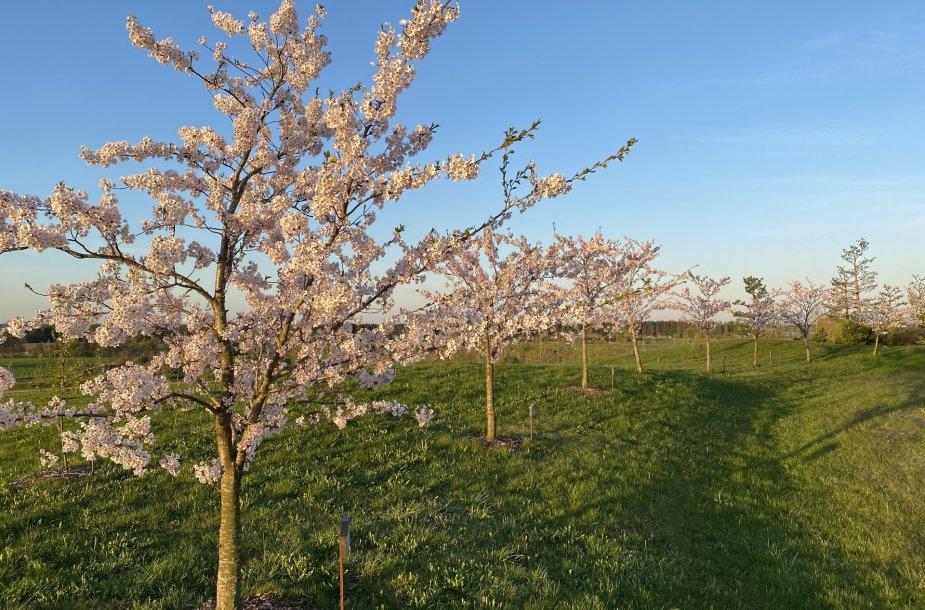 Japoniškame sode Kretingos rajone pražydo sakuros