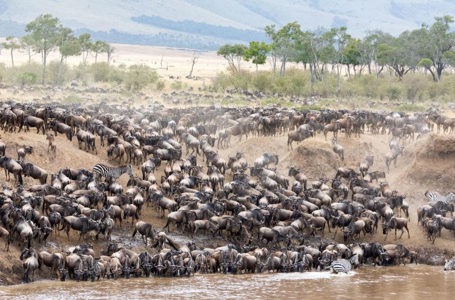 Serengetis