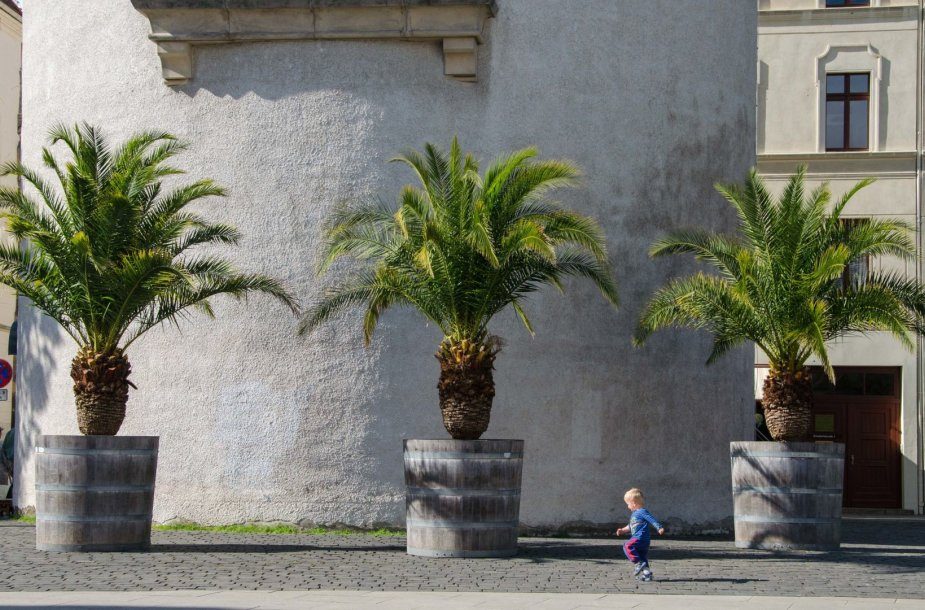 Palmės Vokietijoje. Prieš 60-70 metų panašias palmes vasarų metu buvo galima išvysti ir Vilniuje