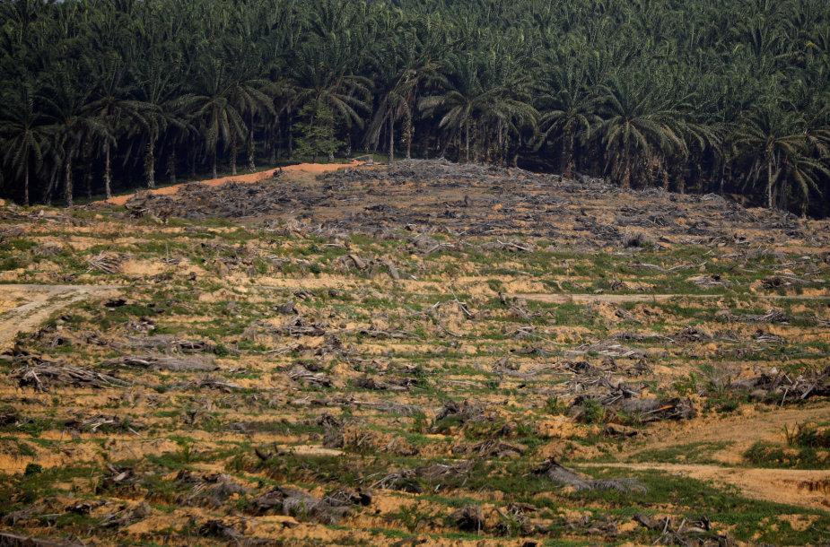 Palmių aliejaus plantacija Malaizijoje