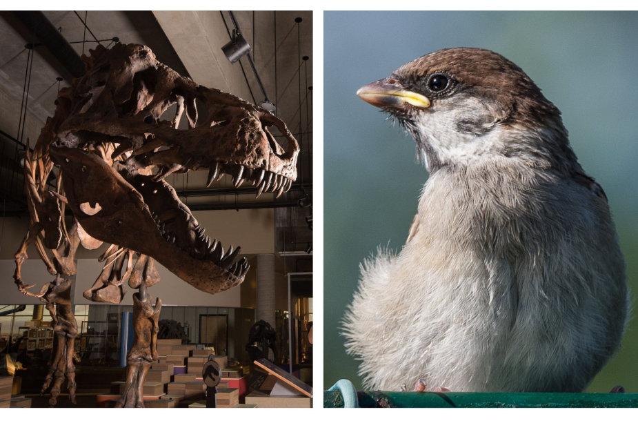 Tiranozauro skeletas ir žvirblis