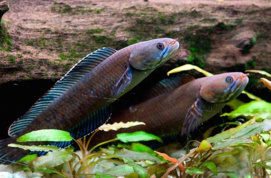 Šios žuvys gali sausumoje išgyventi iki keturių dienų