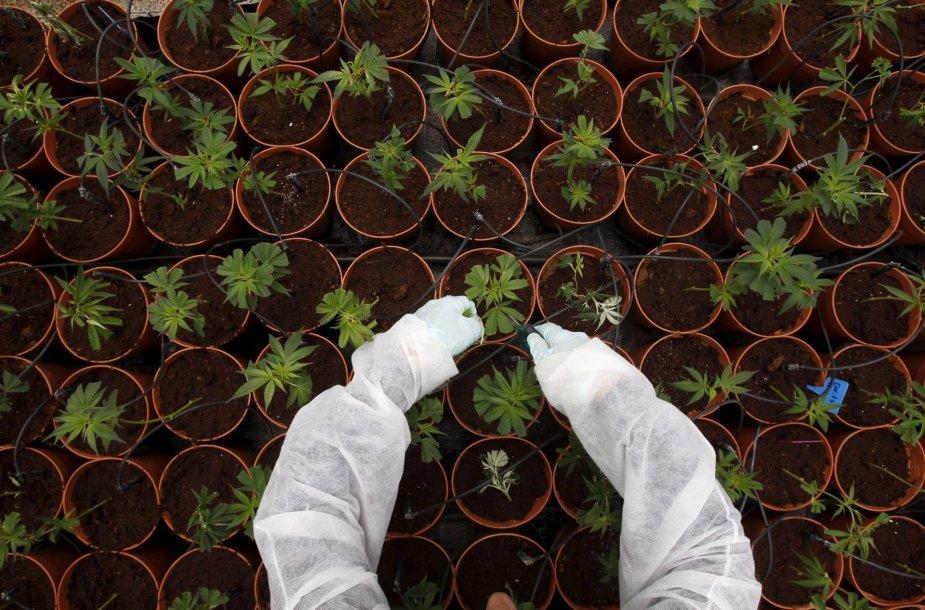 Auginamos kanapės Izraelyje