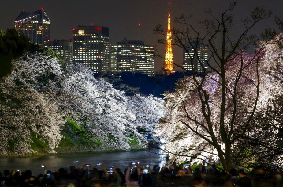 Tokijuje žydi sakuros