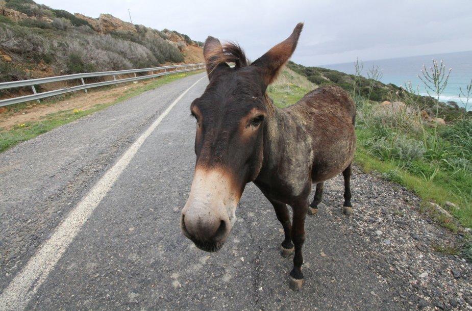 Šiaurės Kipro kyšulio smaigalyje veisiasi tūkstančiai laukinių asilų