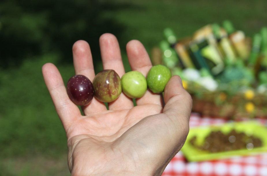 Alyvuogių spalva lemia ir iš jų spaudžiamo aliejaus savybes