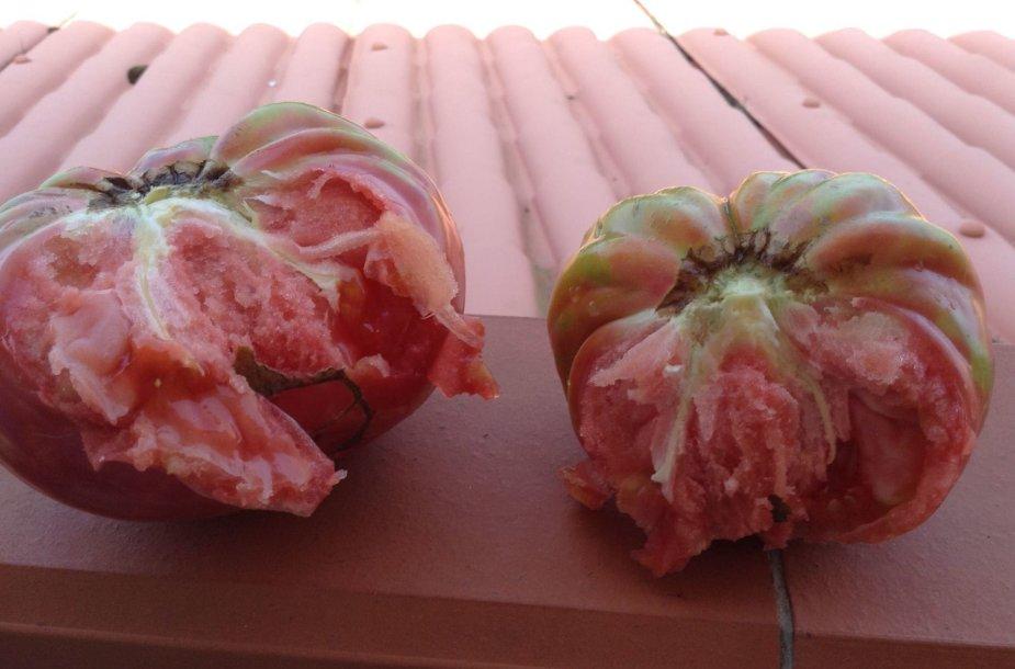 """""""Del Monte"""" pomidorų rūšis"""