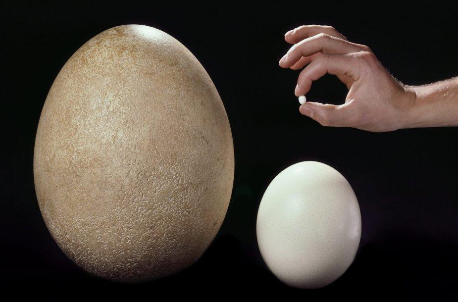 Išnykusio dramblinio paukščio, stručio ir kolibrio kiaušiniai