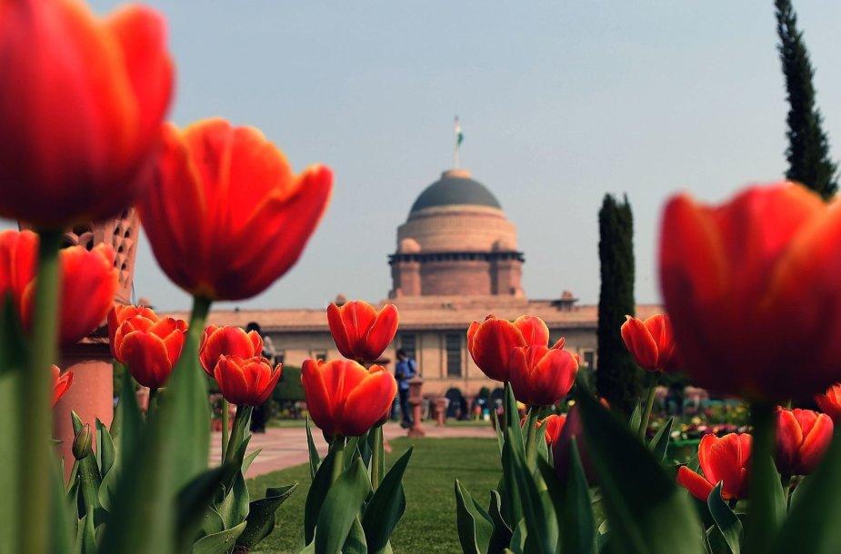 Tulpių žydėjimas Indijoje