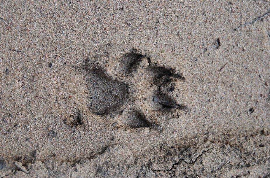 Vilko pėdsakas