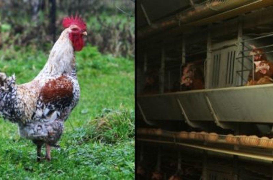 Kaimo vištos ir paukštyno narvuose laikomos vištos – skiriasi ne tik jų gyvenimo sąlygos, bet ir kiaušinių kokybė.