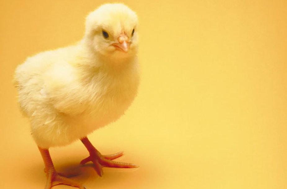 Viščiukas