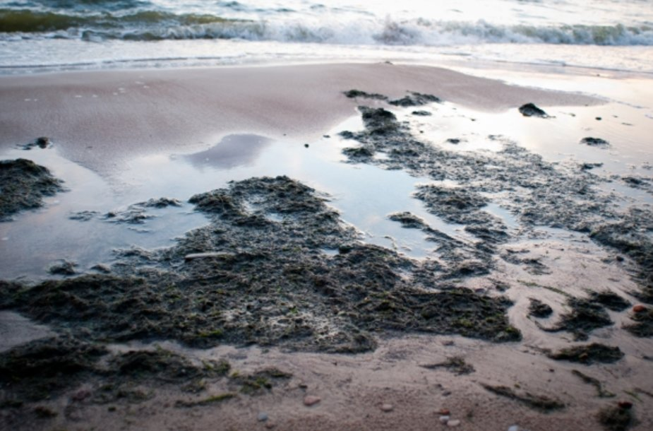 Jūros dumbliai