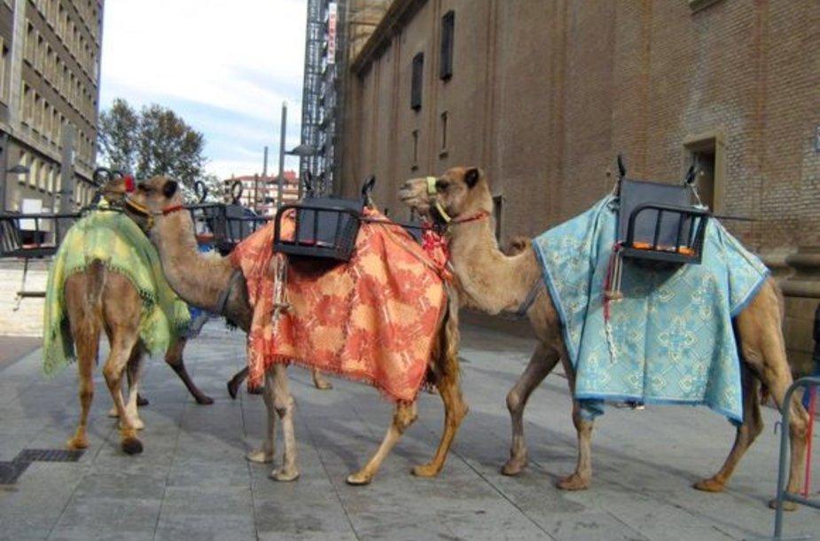 Tikri kupranugariai – džiaugsmas vaikų akims, Saragosa (Ispanija)