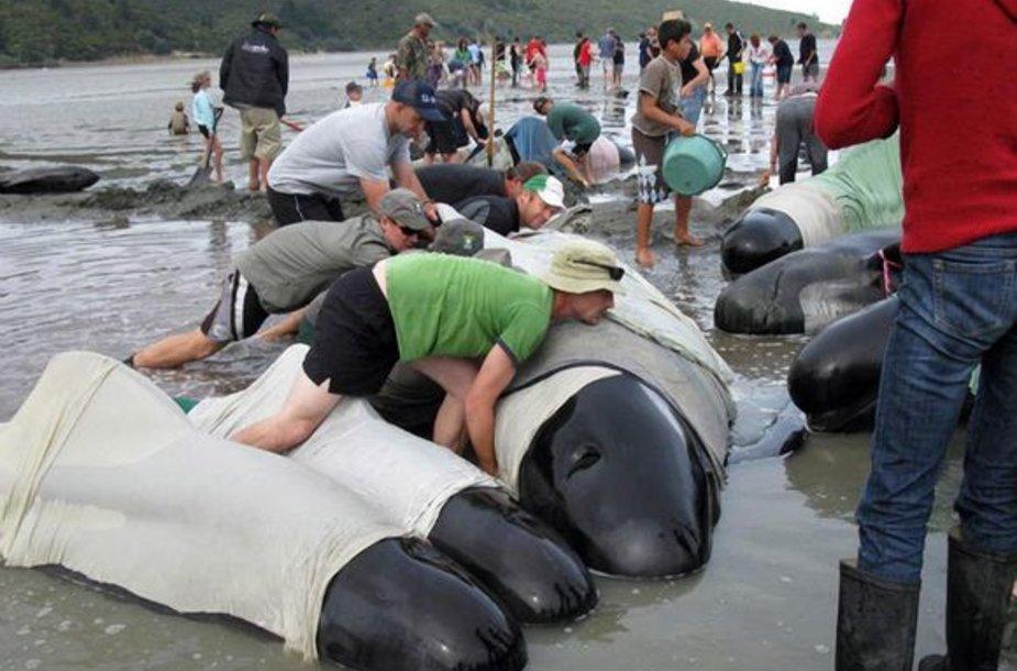 Banginiai nuolat buvo laistomi vandeniu ir apkloti paklodėmis, kad nesušaltų.
