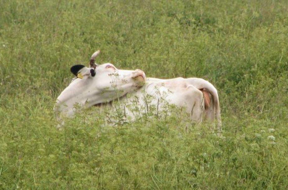 Ūkininkai apie pastebėtus galvijų negalavimus privalo nedelsdami pranešti VMVT.